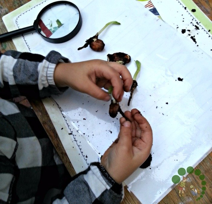 learning about seed germination Montessori Nature Blog