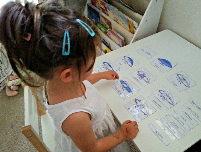 learning-about-parts-of-jelly-fish-montessori-nature-blog