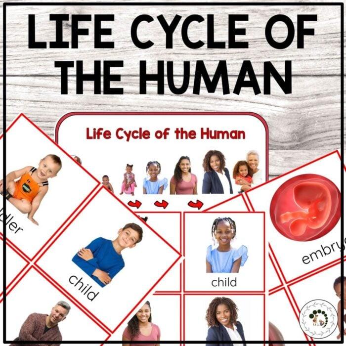 buy Human life cycle printable