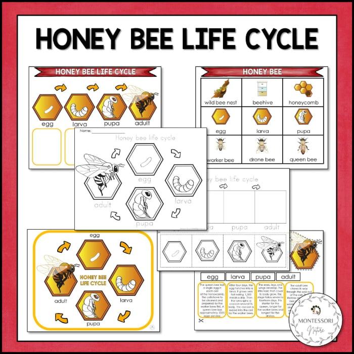 buy honey bee life cycle printable