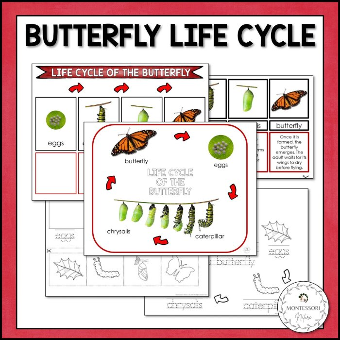 buy butterfly life cycle printable