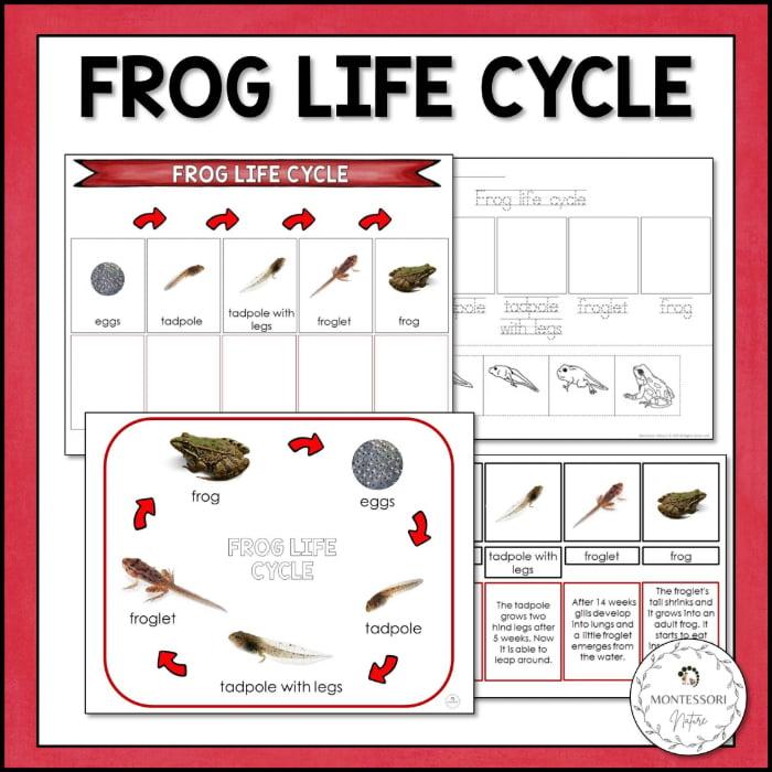 buy frog life cycle printable