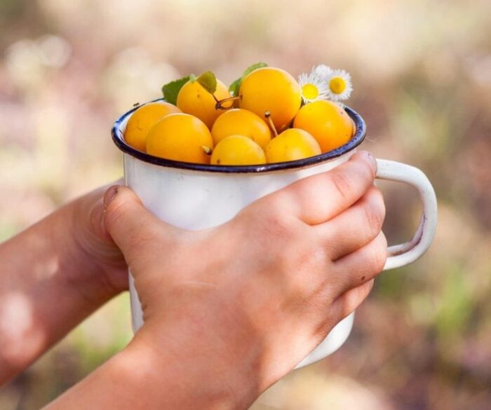 A child holding a metal mug full of yellow cherries