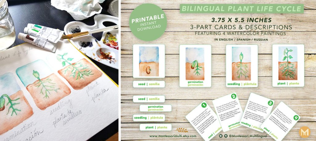 Bilingual cards english spanish with plant life cycle