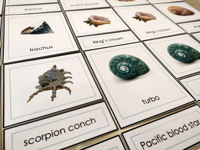 types of seashells printables