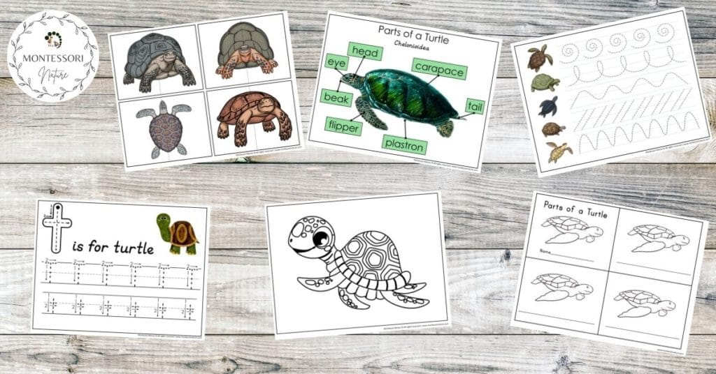 Turtle printables for preschool children - parts of a turtle, handwriting practice, coloring pages