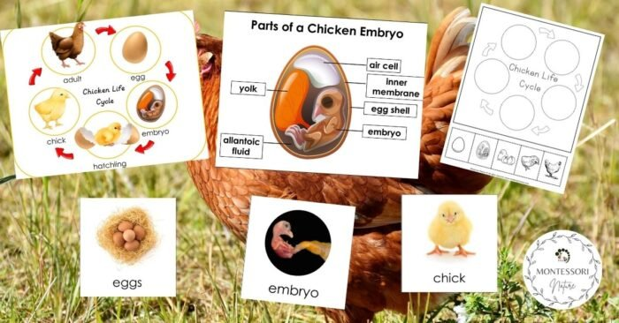 Chicken Life Cycle and Parts of a Chicken Embryo Free Printables