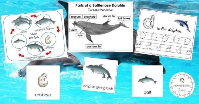 Dolphin life cycle Parts of a Bottlenose Dolphin Montessori Nature Free Printable Featured Image