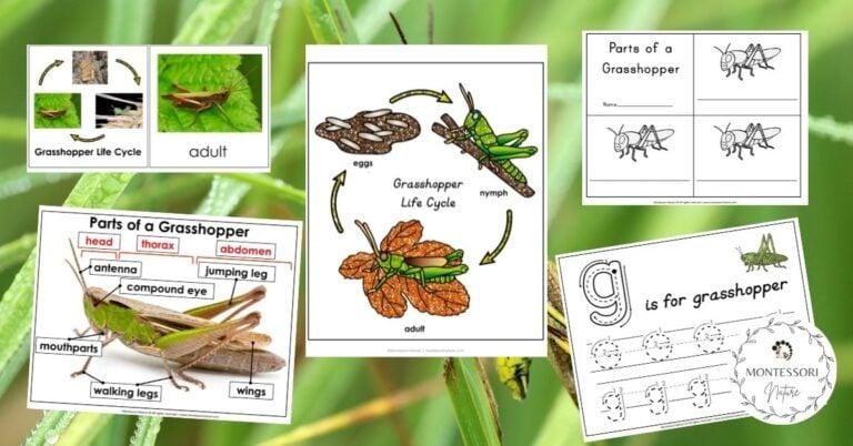 Grasshopper printables for preschool children