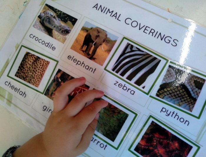 A child learning about animal coverings with cards