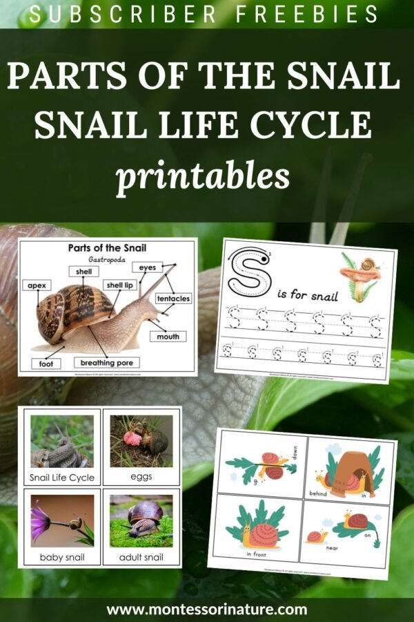 Parts of the Snail and Snail Life Cycle Printables